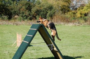 agility-training-for-german-shepherds