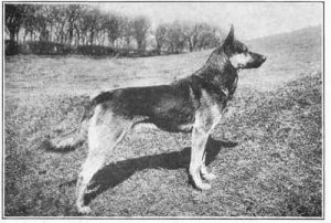 the-history-of-the-german-shepherd